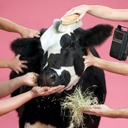 Pampered_cow_2