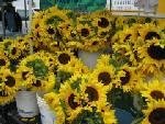Sunflowers_bill